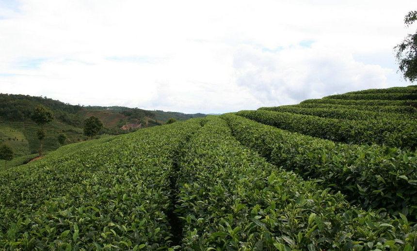 窄幅水平梯级茶园,茶行应在离坎沿3/5处划线;宽幅水平梯级茶园,离坎沿